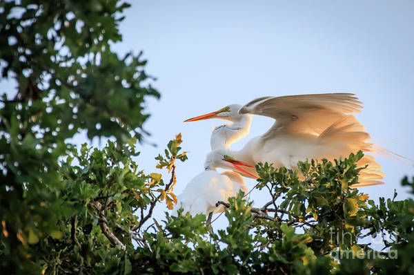 Photograph - Egrets At Last Light #3 by Richard Smith
