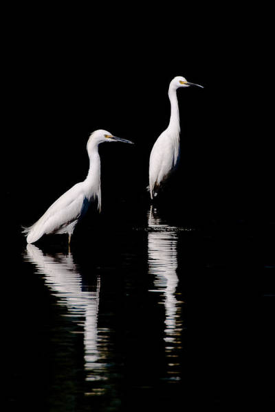 Photograph - Egrets by Gary Lengyel