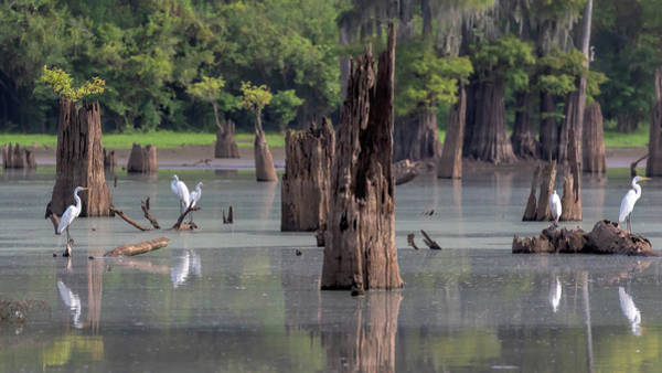 Photograph - Egrets In The Bayou by Susan Rissi Tregoning