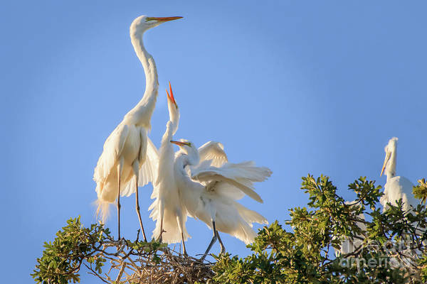 Photograph - Egrets In The Trees #2 by Richard Smith