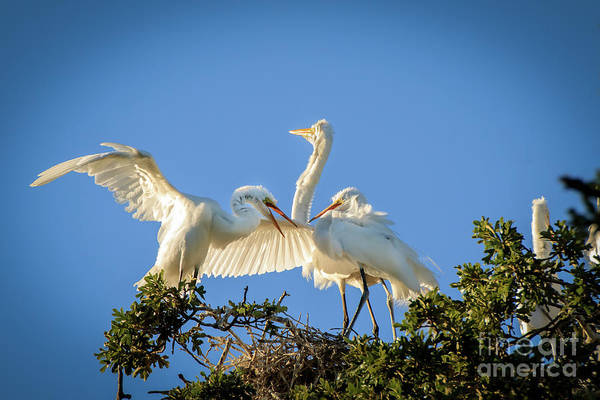Photograph - Egrets In The Trees #1 by Richard Smith