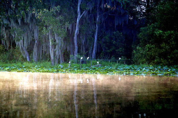 Shotwell Photograph - Egrets On A Fence by Kathi Shotwell