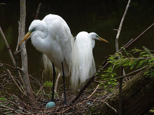 Photograph - Egrets by Ree Reid