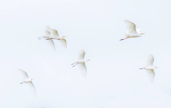 Photograph - Egrets White On White Color by Wes Jimerson
