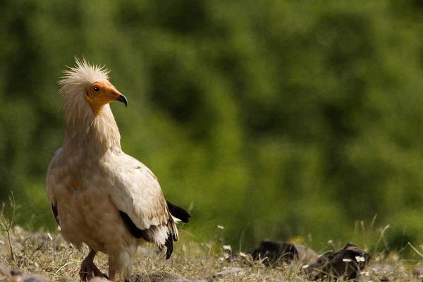 Egyptain Vulture  Art Print