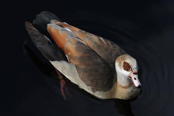 Photograph - Egyptian Goose by Debi Dalio