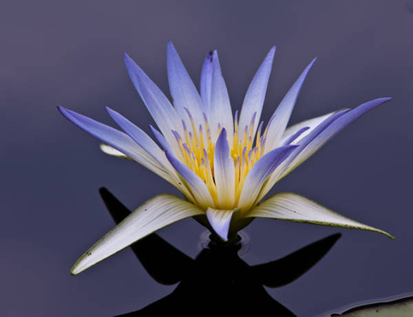 Photograph - Egyptian Lotus by Louis Dallara