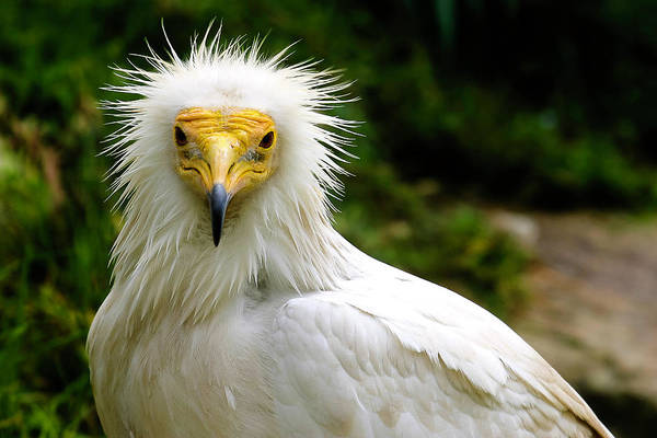 Photograph - Egyptian Vulture by Anthony Jones