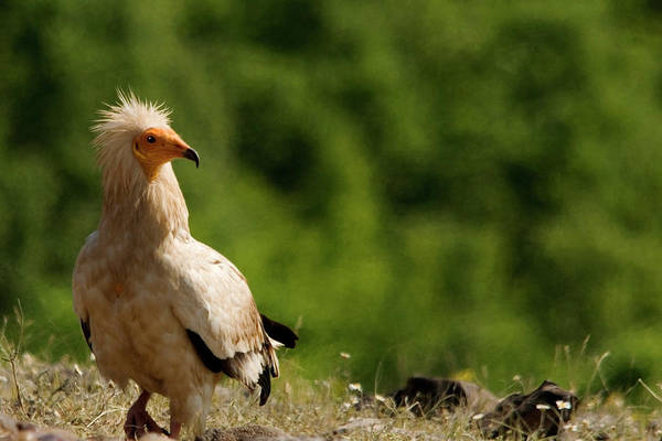 Photograph - Egyptian Vulture In Meadow by Cliff Norton