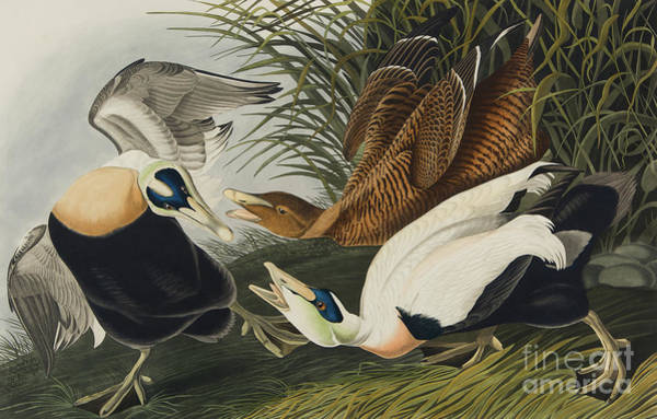 Painting - Eider Duck, 1835 by John James Audubon