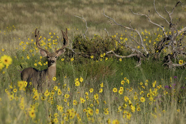 Black Buck Photograph - Eight Point Buck In The Grass Lands Of The Great Sand Dunes by Bridget Calip