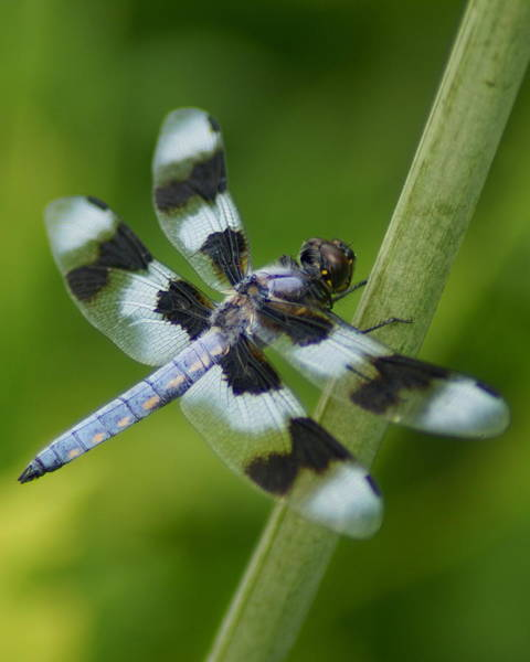 Photograph - Eight Spotted Skimmer Dragonfly by Ben Upham III