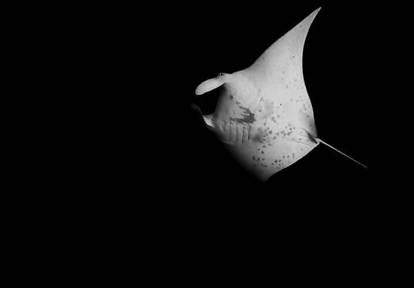 Manta Rays Photograph - Elated Manta by Drew Sulock