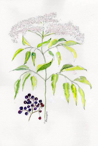 Wall Art - Painting - Elderberry Herb  by Doris Blessington