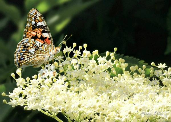 Photograph - Elderflower And Butterfly by Morag Bates