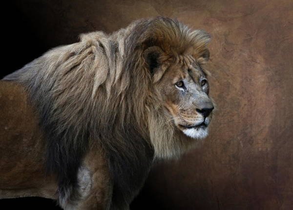 Photograph - Elderly Gentleman Lion by Debi Dalio