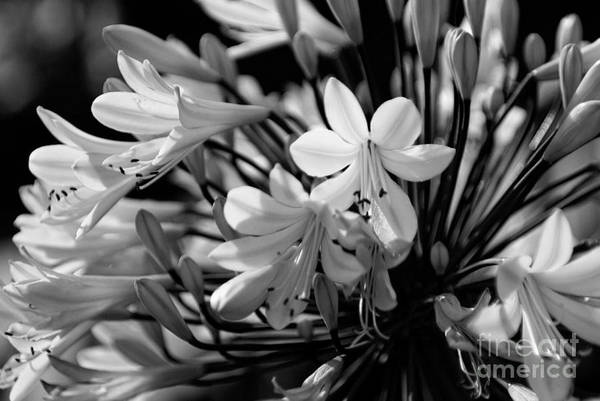 Photograph - Elegance - Bw by Linda Shafer
