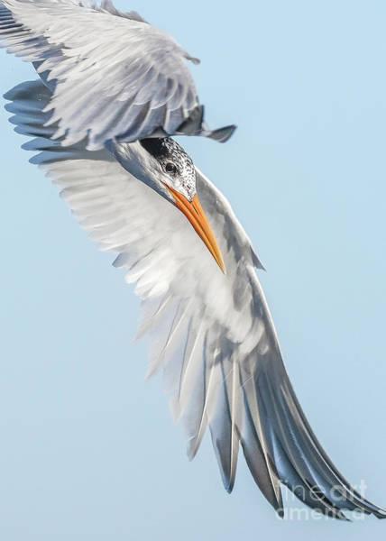 Elegant Tern Wall Art - Photograph - Elegance by Carl Jackson