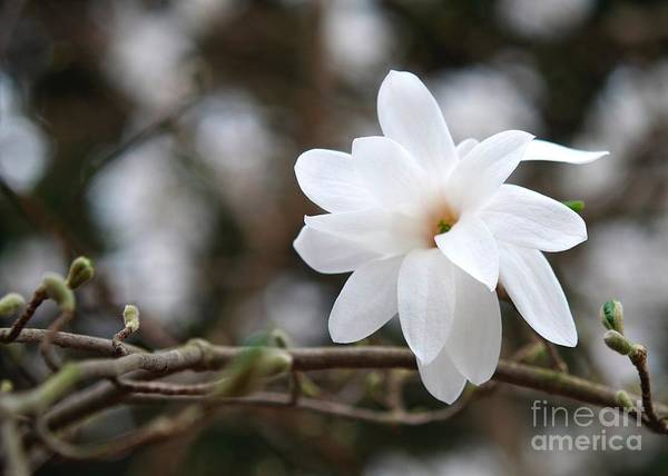 Bokah Photograph - Elegant And White by Stacy Heller