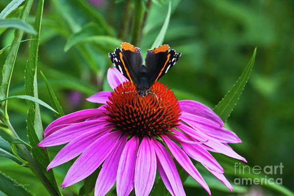 Photograph - Elegant Butterfly by Ms Judi