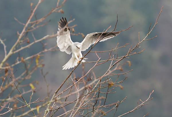 White-tailed Kite Photograph - Elegant Landing by Loree Johnson