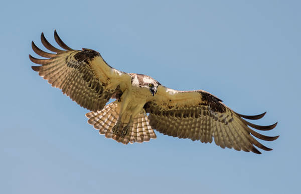Photograph - Elegant Osprey by Loree Johnson
