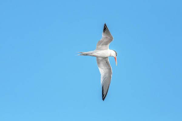 Photograph - Elegant Tern 3851-072815-1 by Tam Ryan