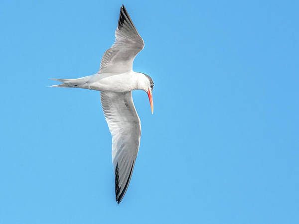 Photograph - Elegant Tern 3851-072815-1cr by Tam Ryan