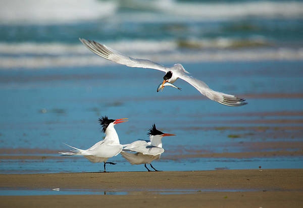 Elegant Tern Wall Art - Photograph - Elegant Tern Fly-by by Brian Knott Photography