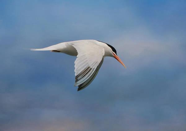 Elegant Tern Wall Art - Photograph - Elegant Tern by Fraida Gutovich