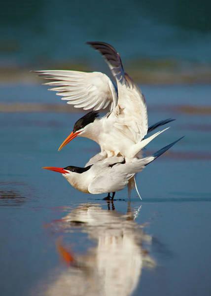 Elegant Tern Wall Art - Photograph - Elegant Terns Mating by Brian Knott Photography