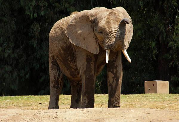 Photograph - Elephant by Anthony Jones