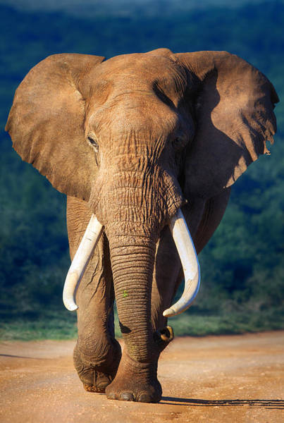 Red Green Photograph - Elephant Approaching by Johan Swanepoel
