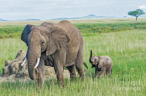 Mama Africa Wall Art - Photograph - Elephant Calf With Mama by Barbara Hayton