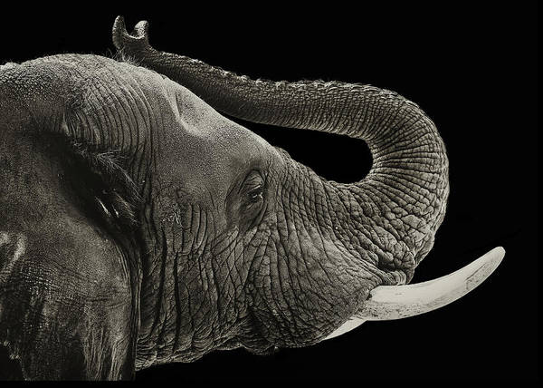 African Elephant Photograph - Elephant Closeup Black And White Banner by Susan Schmitz
