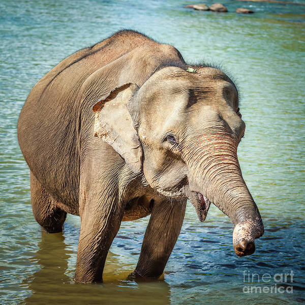 Srilanka Wall Art - Photograph - Elephant Cub Bathing by MotHaiBaPhoto Prints