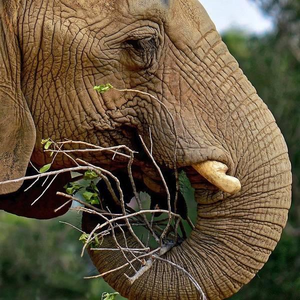 Photograph - Elephant Curl by KJ Swan