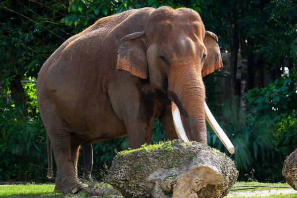 Photograph - Elephant by Dart and Suze Humeston