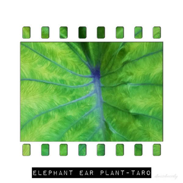 Photograph - Elephant Ear Plant - Taro by Denise Beverly