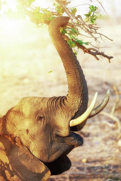 African Elephant Photograph - Elephant Eating At Sunrise by Susan Schmitz