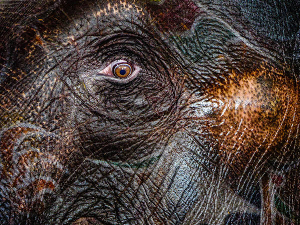 Photograph - Elephant Eye by M G Whittingham