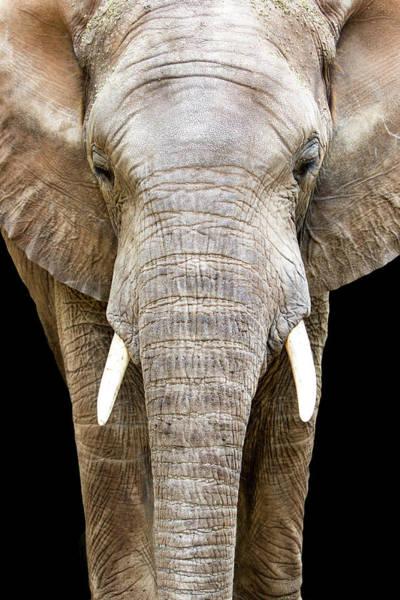 African Elephant Photograph - Elephant Face Closeup Looking Forward by Susan Schmitz