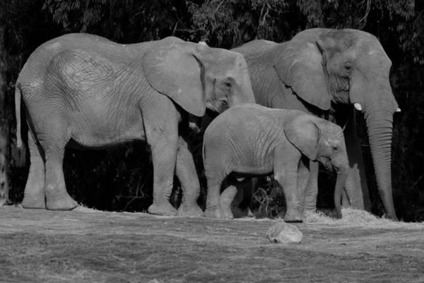 Photograph - Elephant Family by Brad Scott