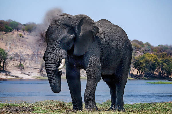 Photograph - Elephant Dust Bath by Kay Brewer