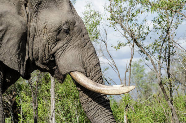 Photograph - Elephant In Manyeleti Game Reserve by Rob Huntley