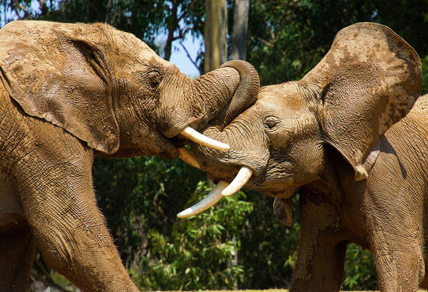 Photograph - Elephant Play 2 by Anthony Jones