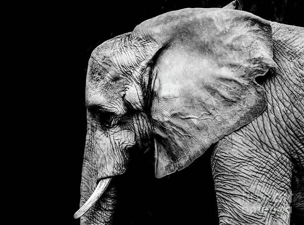 Photograph - Elephant Portrait Bw by Andrea Anderegg