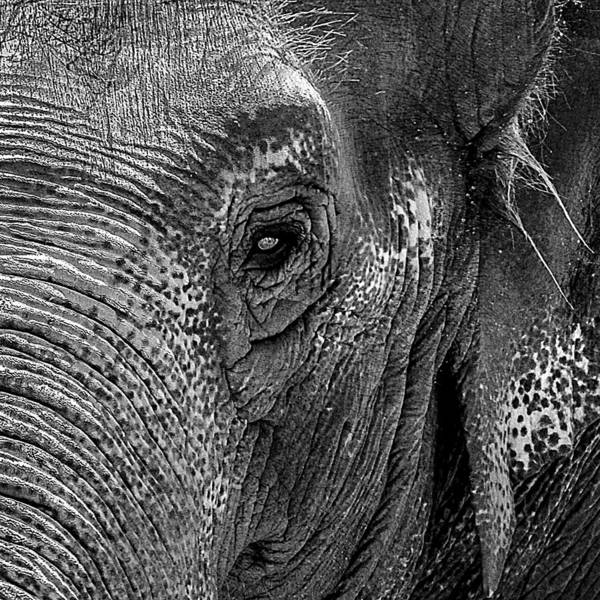 Photograph - Elephant Portrait Grayscale by Bob Slitzan