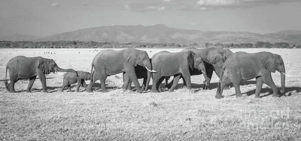 Photograph - Elephant Procession by Chris Scroggins
