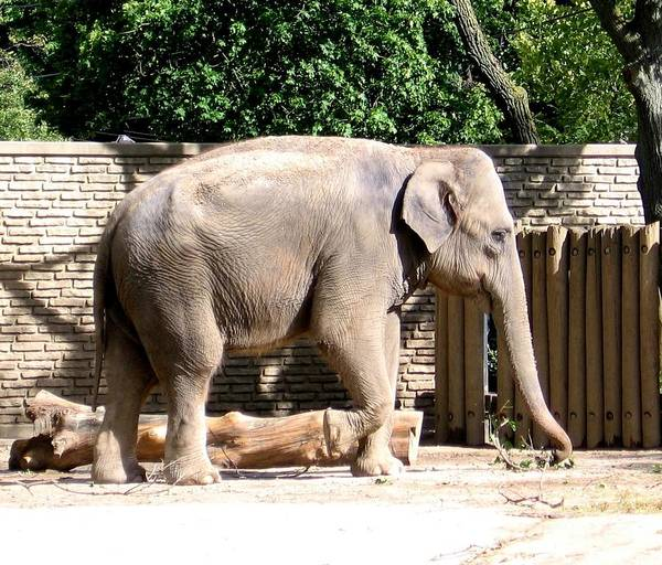 Photograph - Elephant by Rose Santuci-Sofranko